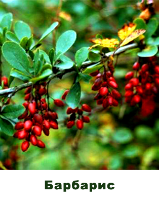 Барбарис (корень)(Berberis aquafolium)
