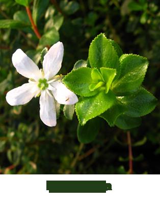 Листья баросмы (Barosma betulina)