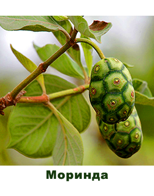 Моринда (Morinda officinalis)