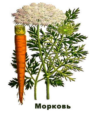 carrot daucus carota extract as an ointment for skin rashes on human