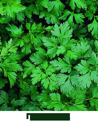 Листья петрушки (Petroselinum crispum)