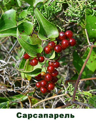 Сарсапарелла (Smilax officinalis)